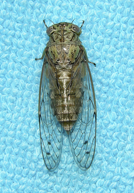 Cicada (Unidentified)