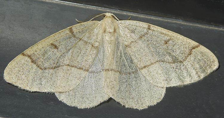 Hemlock Looper Moth (6888)