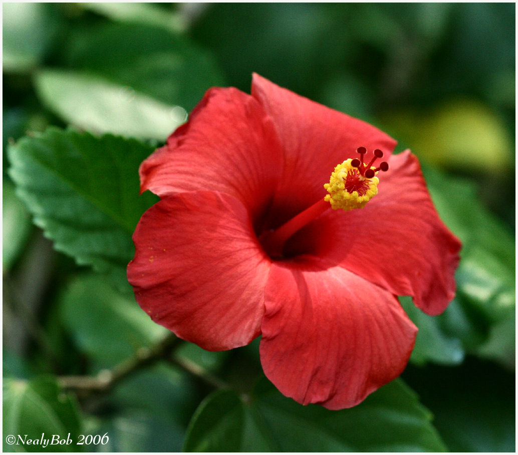 Hibiscus July 25 *