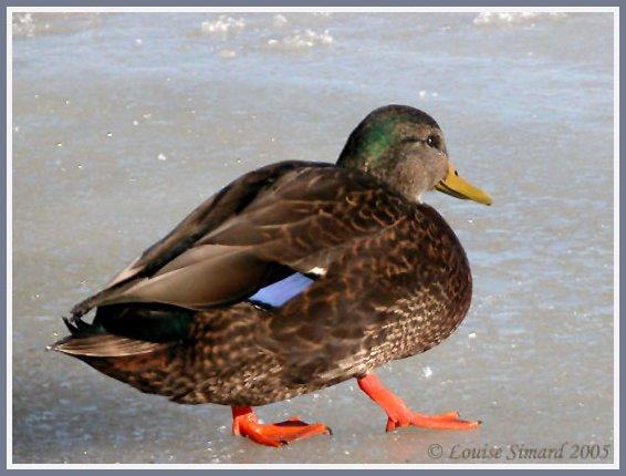 Hybride Canard colvert X Canard noir / Mallard X American Black Duck hybrid