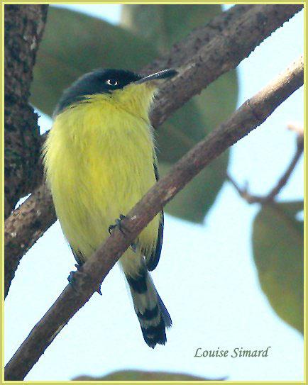 Common Tody-Flycatcher / Todirostre familier