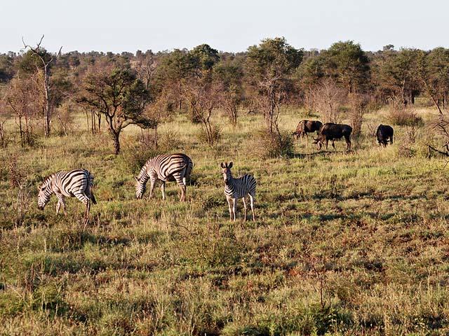 Zebra & Widebeest