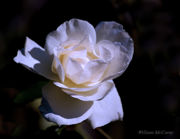 White Rose of Winter