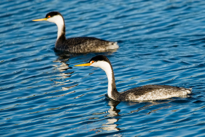 Western Grebe and Clarks Grebe