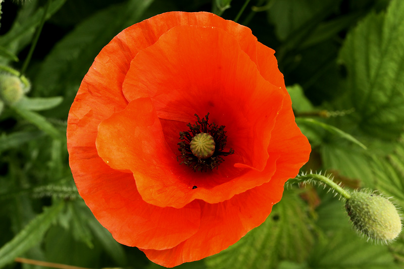 Inside the cone of a poppy