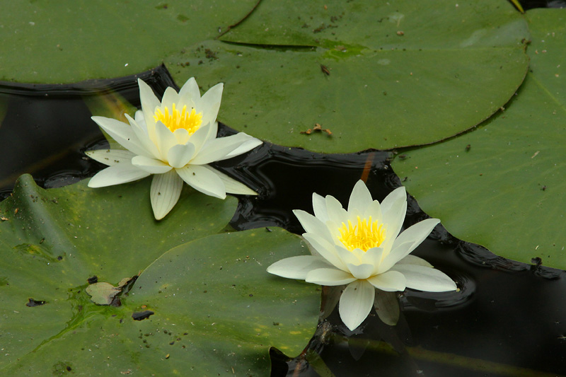 Water lilies on a natural pond near the forest