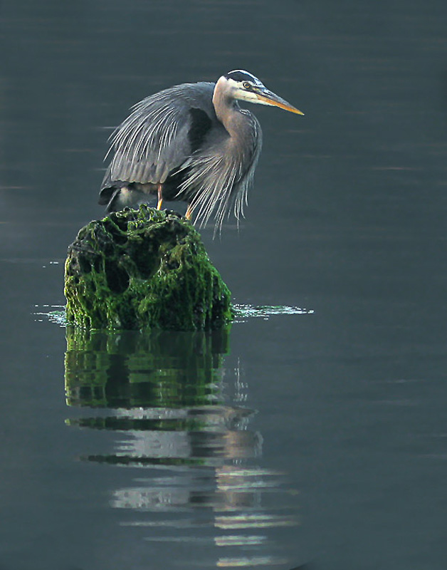 1st (tied) - Blue Heron<br>Heather Wade