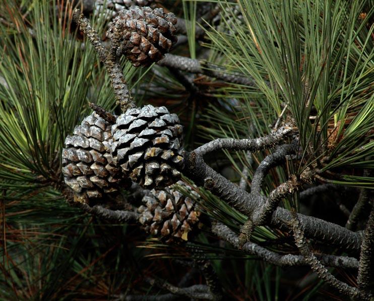 November 24, 2005 - Torrey Pines State Park - Pinescones