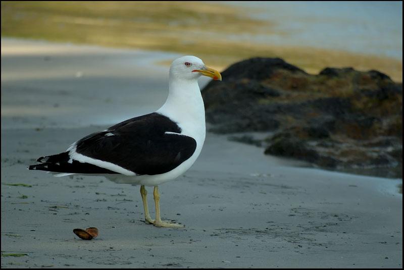 Goéland dominicain - Kelp gull