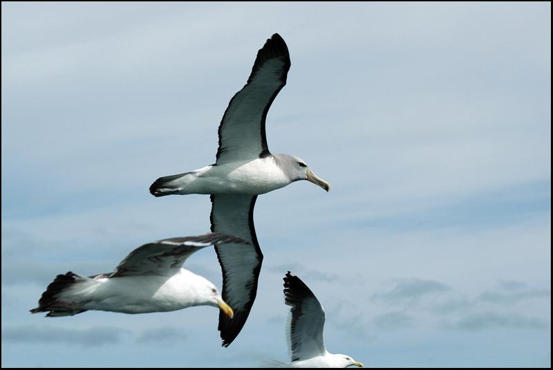 Albatros de Salvin - Shy Albatross + Goéland dominicain - Kelp Gull