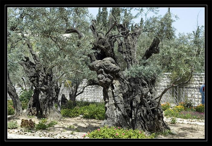 Gat Shmanim church. Ancient olives