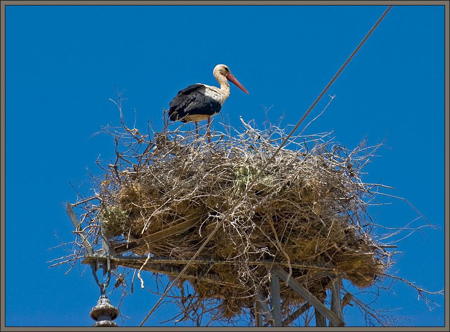 White stork nesting