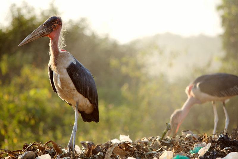 Birds among garbage