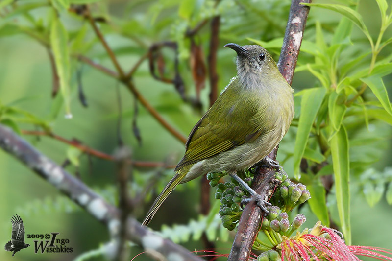 Scaly-crowned Honeyeater