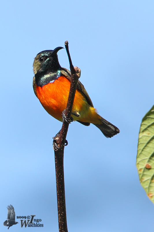 Adult male Flame-breasted Sunbird