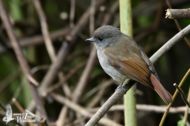 Adult Russet-backed Jungle-flycatcher (ssp. oscillansi)