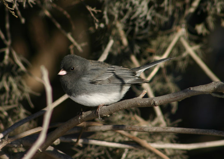 Dark-eyed Slate-colored Junco; male