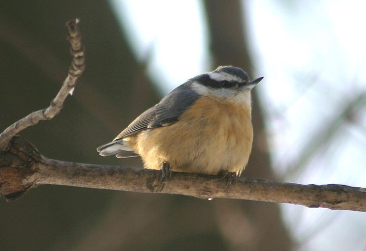 Red-breasted Nuthatch; male