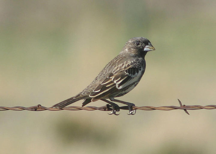 Lark Bunting; immature male