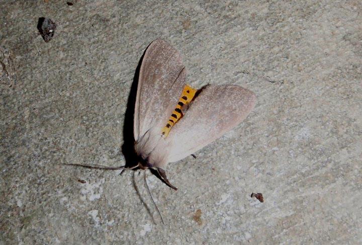 8238 - Euchaetes egle; Milkweed Tussock Moth