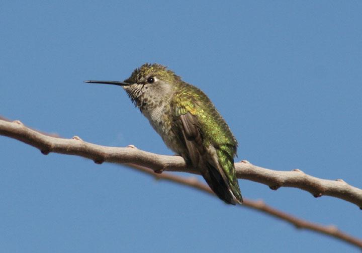 Annas Hummingbird; female