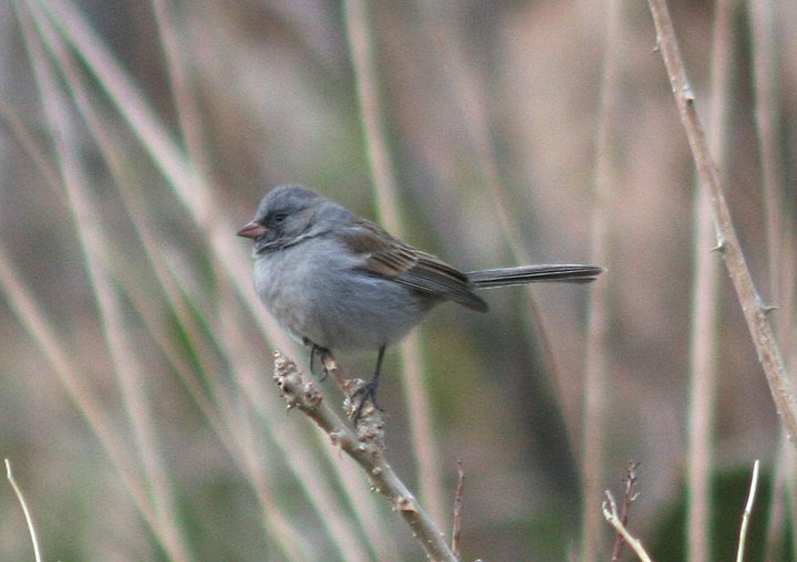Black-chinned Sparrow; basic