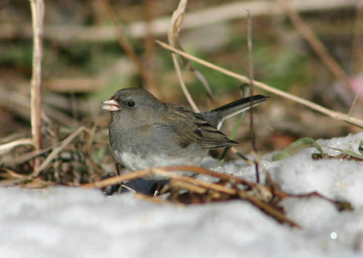 Dark-eyed Slate-colored Junco; female