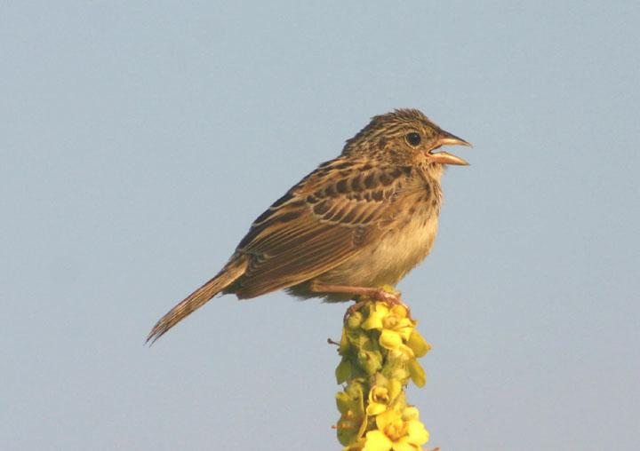 Grasshopper Sparrow; juvenile