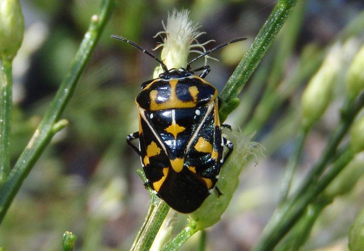 Murgantia histrionica; Harlequin Bug