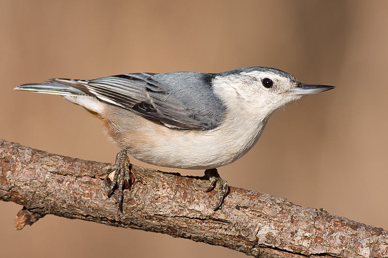 white-breasted nuthatch 243