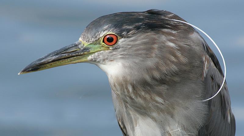immature black-crowned night heron 39