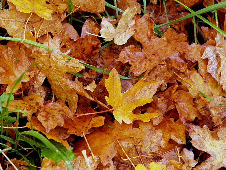 Maple Leaves 1.jpg