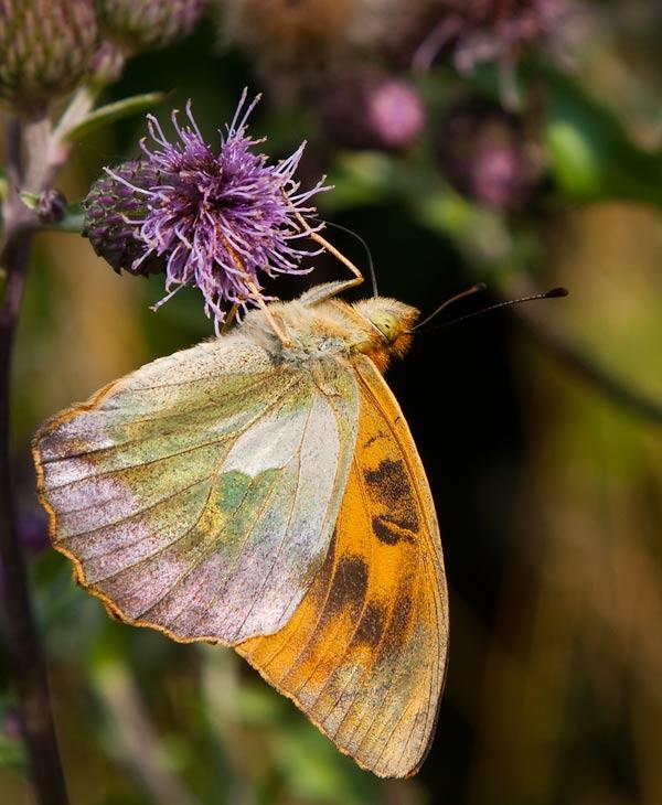 Silverstreckad pärlemorfjäril (Argynnis paphia), aberrant