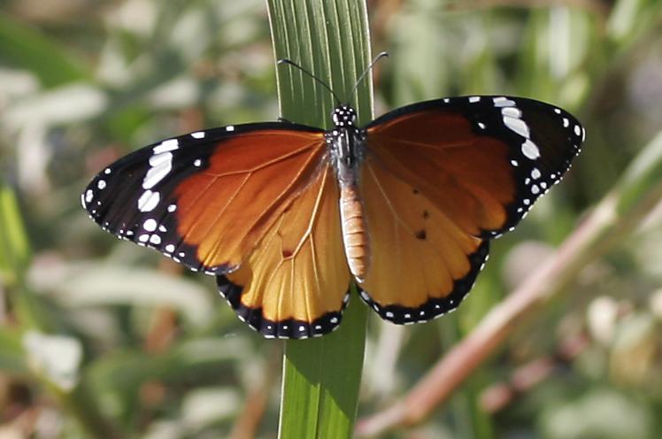 Mindre monark (Danaus chrysippus)