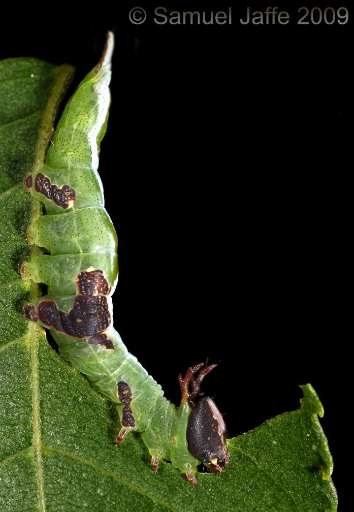Wavy-lined Prominent - Heterocampa biundata