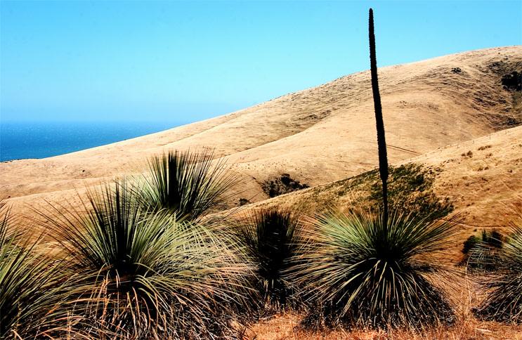 Grass Tree (Xanthorrhoea) *
