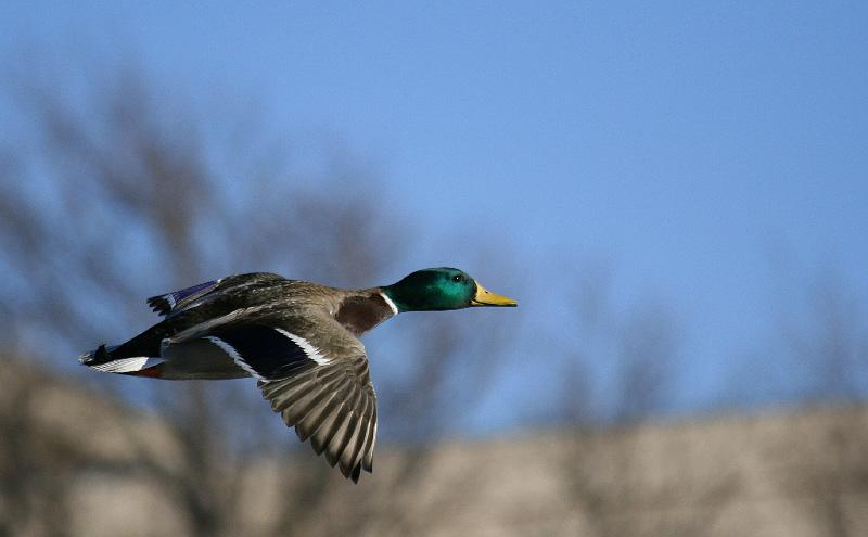 5th - Mallard in Flight by jvkelley