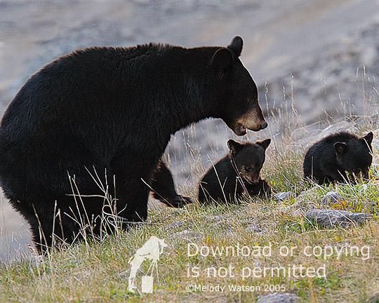 Mama bear, baby bears