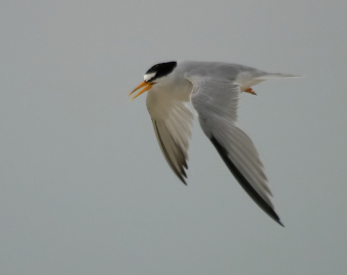Least Tern (Atlantic)