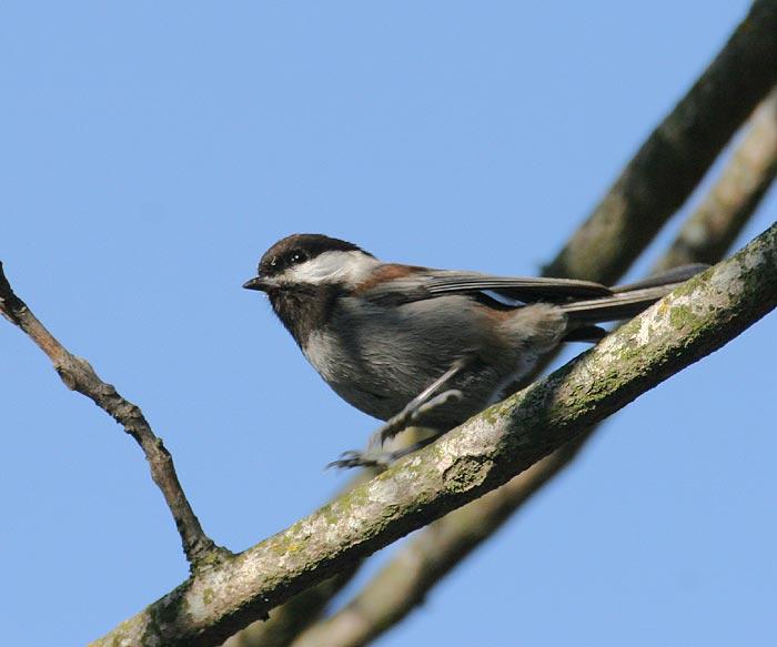 Chestnut-backed Chickadee (southern form)