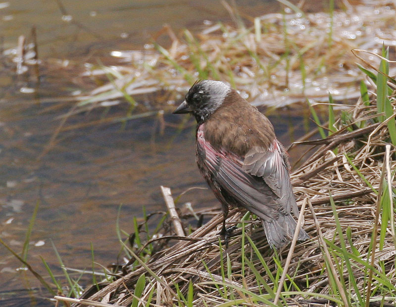 Gray-crowned Rosy-Finch (Pribilof Is.)