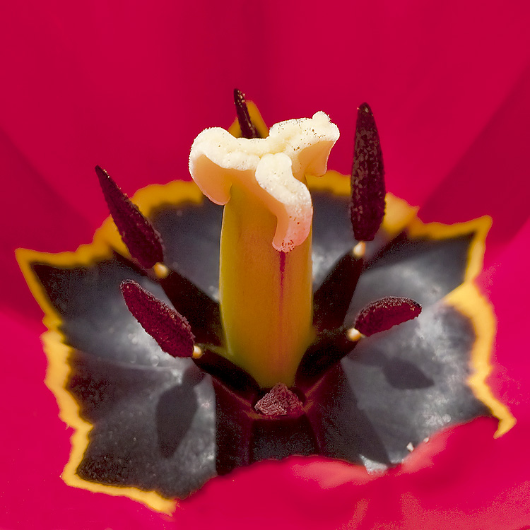 This is not a mushrooms... this is a Poppys pistil and stamens....