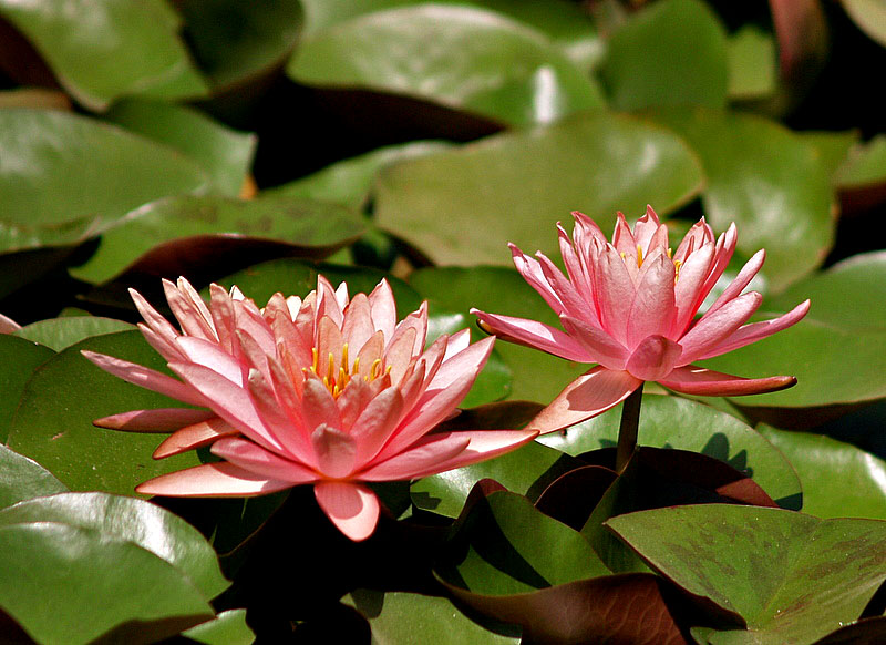 two water lilies