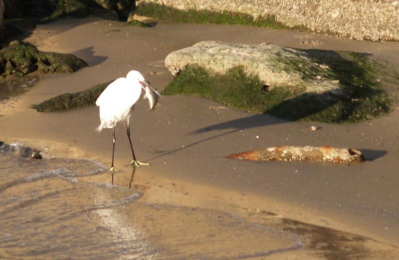 yarkon egret fish.JPG