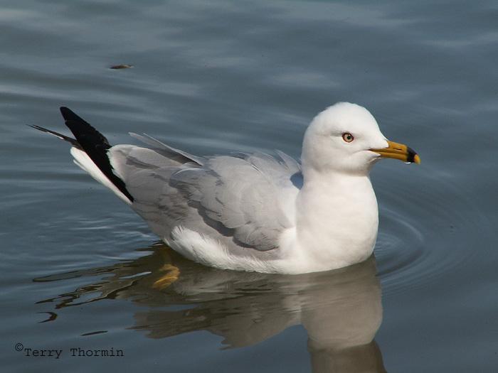 Ring-billed Gull 7.jpg