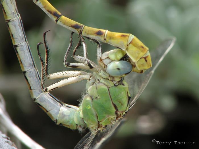 Ophiogomphus severus - Pale Snaketails mating 1.jpg