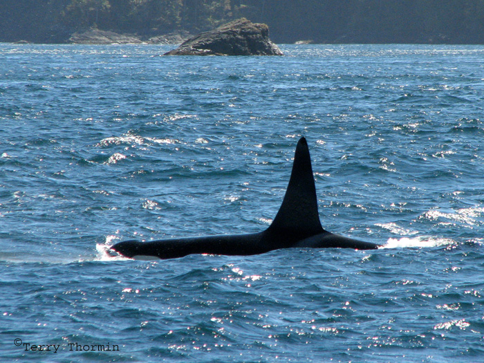 orca share media1433513105253 Home essays orca share media1433513105253 the dorsal fin is the top fin on an orca that typically stands around six feet tall on your average male.