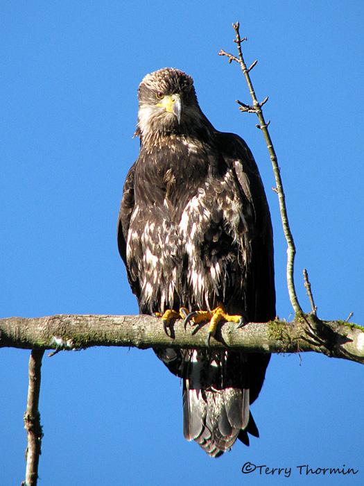 Bald Eagle 3rd year bird 9a.jpg