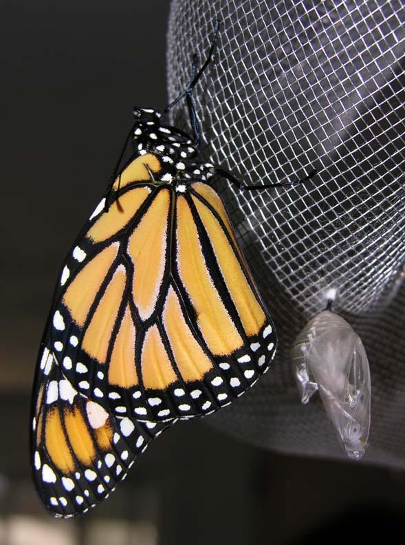 monarch-eclose-large.jpg