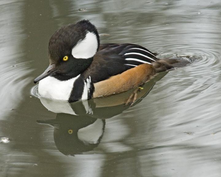 Duck 107 low res.jpg